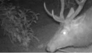 Cervo di 200 chili in giro per Vimercate: sul giornale tutte le foto in esclusiva
