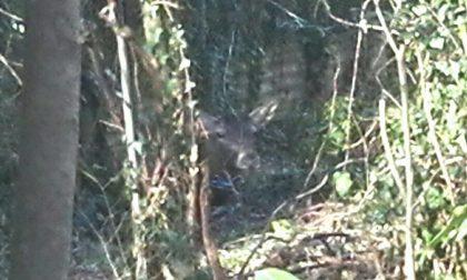 Cervo in libertà a Monza, avvistato in zona Cederna