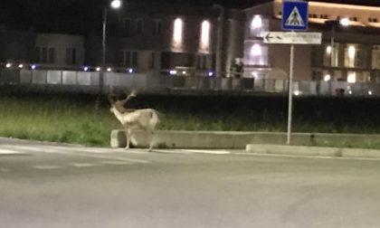"""Il cervo """"sorpreso"""" a Vimercate e Burago"""