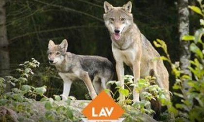 La Lav di Monza si schiera contro l'abbattimento dei lupi