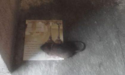 Monza, c'è un topo nel comune