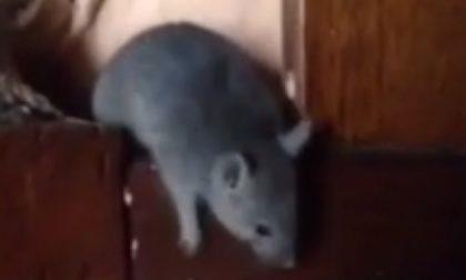 Topo entra in casa e si imbatte nel gatto di famiglia… salvato dai padroni di casa (VIDEO)