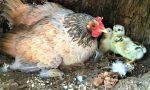 ENPA salva mamma chioccia e 11 pulcini