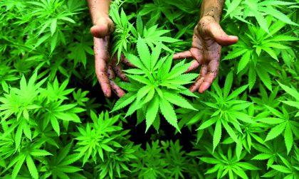 Seregno: undici piante di cannabis sul balcone di casa