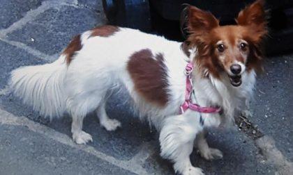 """Desio: cane """"rubato"""" ritrovato all'aeroporto"""