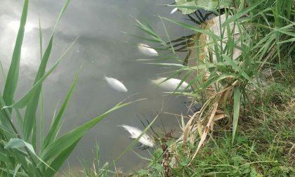 Moria di pesci al laghetto di Giussano