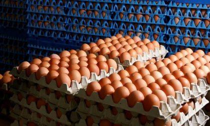 Uova al Fipronil, a Milano omelette contaminate. Cosa rischia chi le mangia?