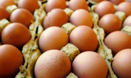 Uova contaminate al fipronil: nessun pericolo in Brianza