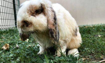 Il coniglio Pinotto ringrazia (ma attende un'adozione) L'APPELLO