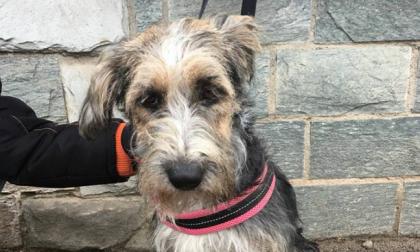 Cani scomparsi: Ketty si perde a Caponago. Ritrovata a Bussero – LE FOTO