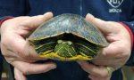 Tartaruga d'acqua abbandonata a Brugherio