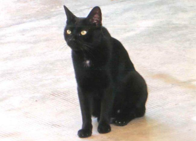 Gatto scomparso villasantesi aiutatemi a ritrovarlo!