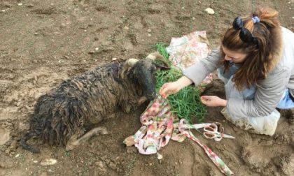 La pecora intrappolata nel fango non ce l'ha fatta