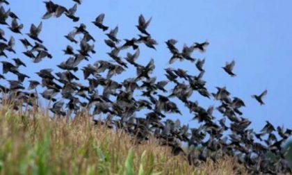 """""""Gli uccelli danneggiano le vigne"""" e l'assessore regionale rilancia la caccia in Lombardia"""