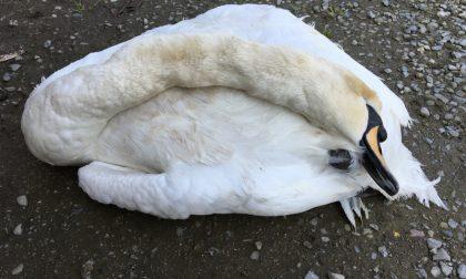Altro cigno morto nel Parco