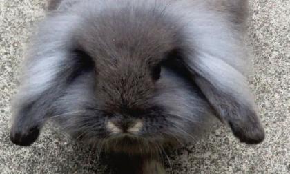 Guardie ecologiche recuperano coniglietto: chi è il proprietario?