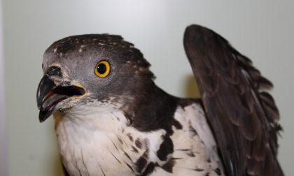 Lieto fine per il falco trovato stordito in strada