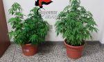 20enne denunciato per produzione e spaccio di marijuana