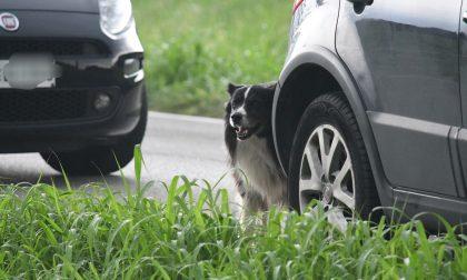 Il cane veglia il suo padrone morto nell'incidente