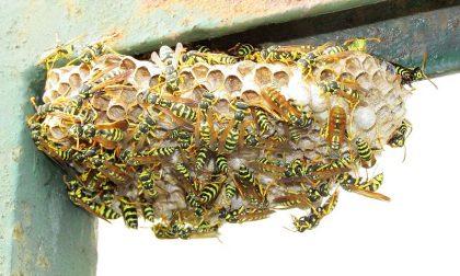 Aggredito da uno sciame di vespe, salvato dalla farmacista