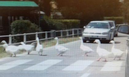 Oche attraversano la strada sulle strisce pedonali e il video diventa virale