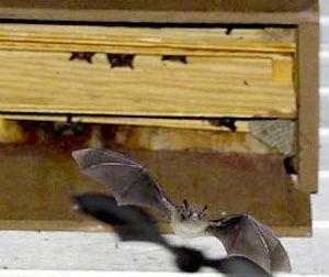 In arrivo 60 Bat box, Desio dichiara guerra alle zanzare in anticipo