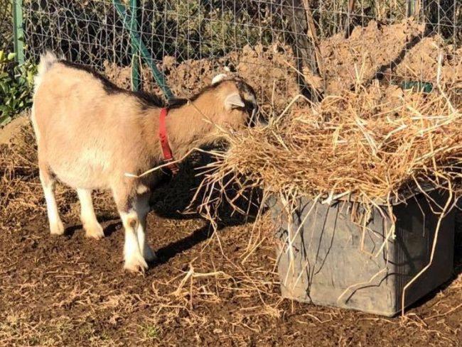 La capra tibetana Margherita ha trovato una nuova casa