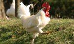 Sovico, il gallo disturba il sonno e viene sfrattato