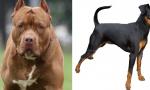 Lite tra cani in casa: pitbull uccide piccolo pinscher