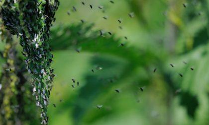 Quella strana invasione di moscerini: ecco perché ce ne sono così tanti anche in Brianza