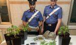 Piantine di marijuana sul balcone: arrestato un 37enne