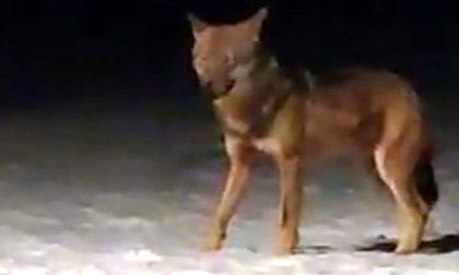 Allerta nel Parco del Curone per la presenza di un lupo: trovate sbranate diverse pecore