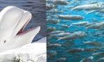 Dopo la Balena bianca la Brianza accoglie le sardine