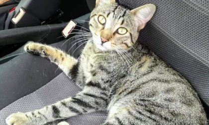 """Sparito un gatto dalla colonia felina, i volontari: """"E' malato, ha bisogno di cure"""""""