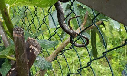 Quattro serpenti recuperati e liberati dalla Polizia provinciale