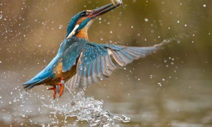 Obiettivo Terra 2020: il besanese Samuele vince il concorso fotografico con il suo martin pescatore