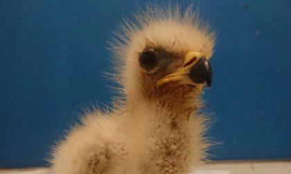 Cucciolo di falco pecchiaiolo salvato nei boschi tra Capriano e Veduggio