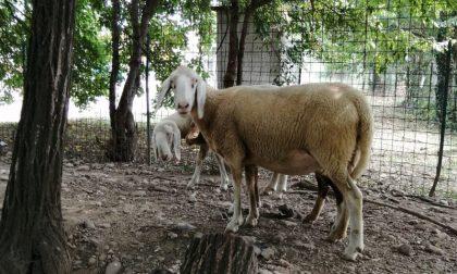 Brianza: recuperata una pecora, forse destinata alla macellazione rituale clandestina