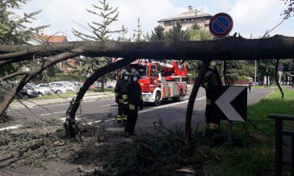 Grosso ramo di un albero crolla sulla strada in viale Romagna FOTO