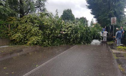 Cade un albero, tragedia sfiorata a Veduggio