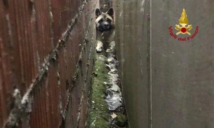 Cagnolino incastrato tra due muri, salvato dai Vigili del fuoco