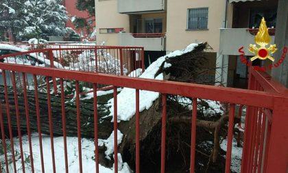 Grosso albero cade a causa del maltempo