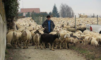 Pecore bergamasche al pascolo a Tregasio