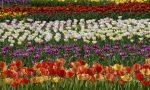A Ornago un campo con 35.000 tulipani aperto a tutti