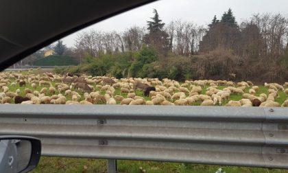 Tra Lesmo e Peregallo spunta un gregge di pecore
