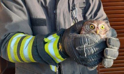 Civetta resta intrappolata in una bocca di lupo: la salvano i Vigili del fuoco