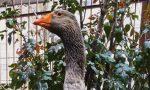L'oca Reginaldo finisce al macello: gli animalisti denunciano il don
