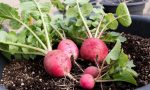Il ravanello: facile e veloce da coltivare, ma non esageriamo con l'acqua