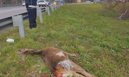 Cervo muore investito sulla Milano Meda