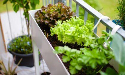 Lattuga: conservare i semi al fresco e non raccogliere oltre il terzo taglio